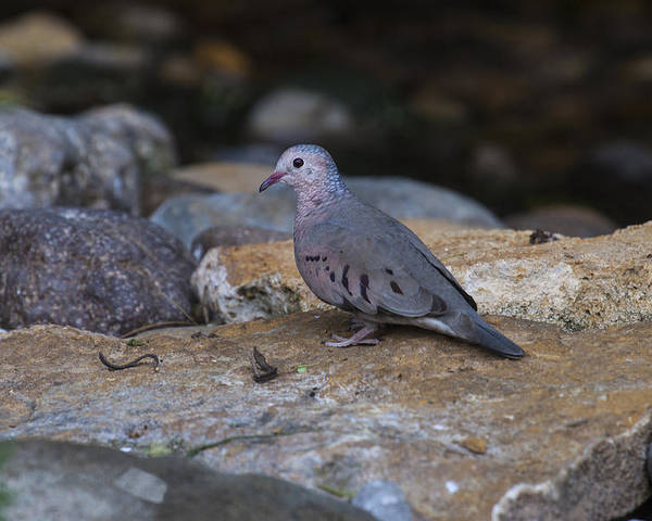 Doug Lloyd Poster featuring the photograph Common Ground-dove by Doug Lloyd