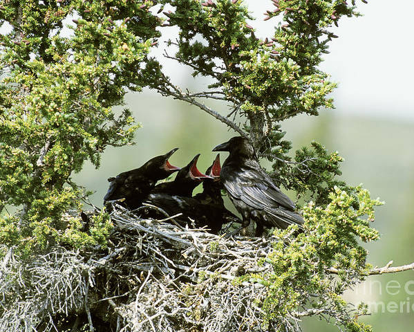 Animal Poster featuring the photograph Common Raven Feeding Young In Nest by William H. Mullins