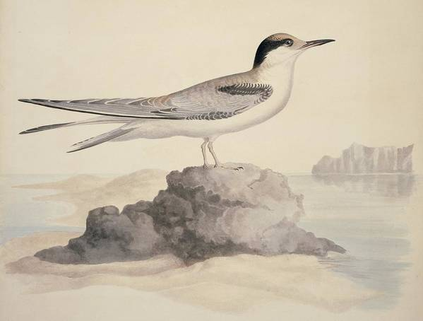 1800s Poster featuring the photograph Common Tern, 19th Century Artwork by Science Photo Library