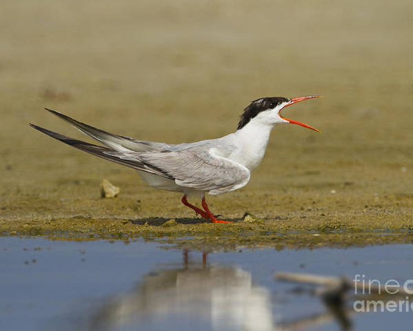 Common Tern Poster featuring the photograph Common Tern Sterna Hirundo by Eyal Bartov