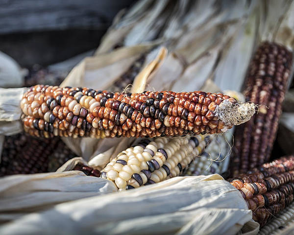 Corn Poster featuring the photograph Corn Of Many Colors by Caitlyn Grasso