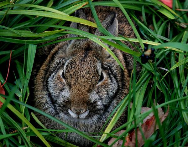 Rabbit Poster featuring the photograph Cottontail by Lisa Vaccaro