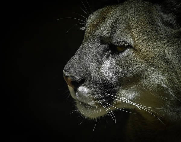 Mountain Lion Poster featuring the photograph Cougar by Ernie Echols