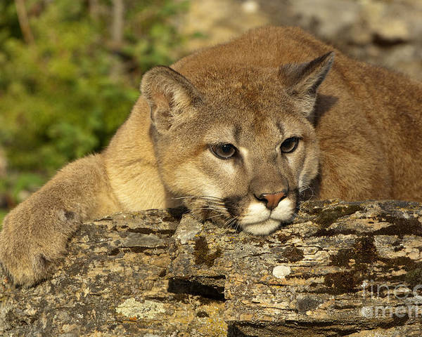 Cougar Poster featuring the photograph Cougar On Lichen Rock by Sandra Bronstein