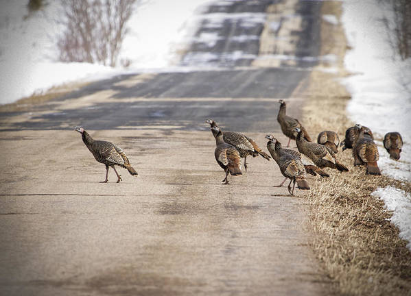 Eastern Wild Turkey (meleagris Gallopavo Silvestris) Poster featuring the photograph County Road Crew by Thomas Young