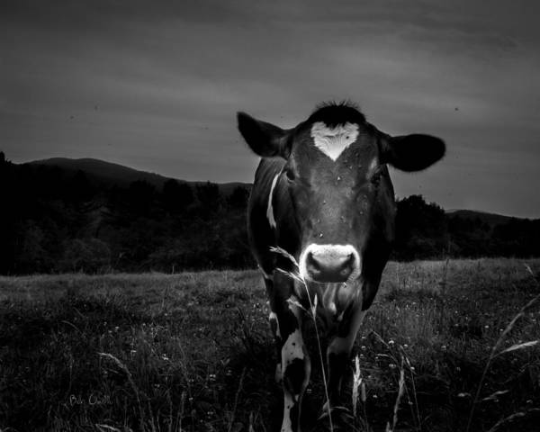 Cows Poster featuring the photograph Cow by Bob Orsillo