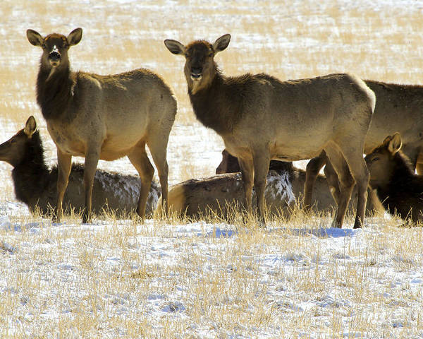 Elk Poster featuring the photograph Cow Elk  #0479 by J L Woody Wooden