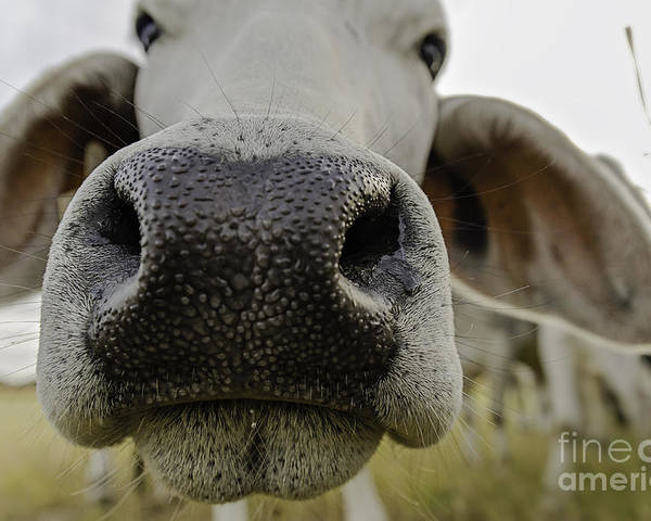 Nature Poster featuring the photograph Cow Nose by Cindy Bryant
