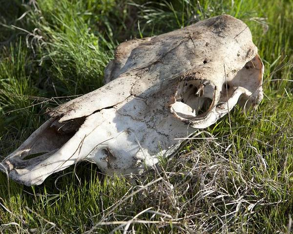 australian Outback Poster featuring the photograph Cow Skull, New South Wales, Australia by Science Photo Library