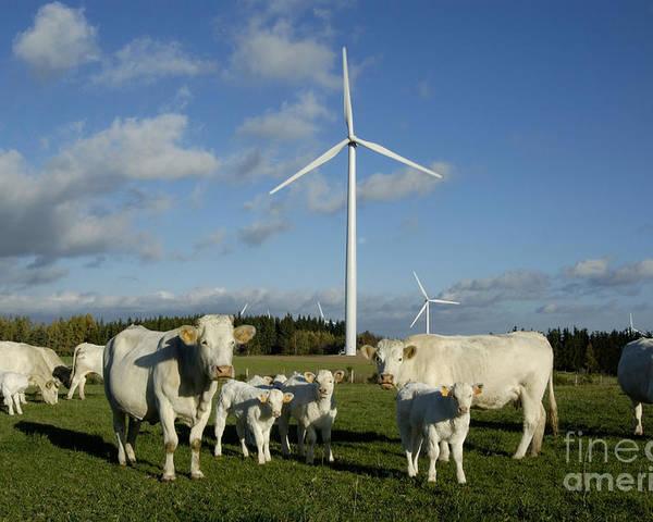 Sky Poster featuring the photograph Cows And Windturbines by Bernard Jaubert