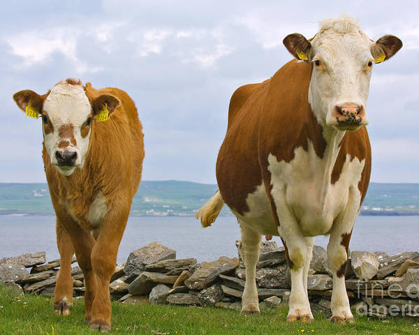 Nature Poster featuring the photograph Cows by Terry Whittaker