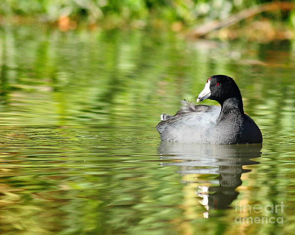 Coot Poster featuring the photograph Crazy Coot by David Cutts