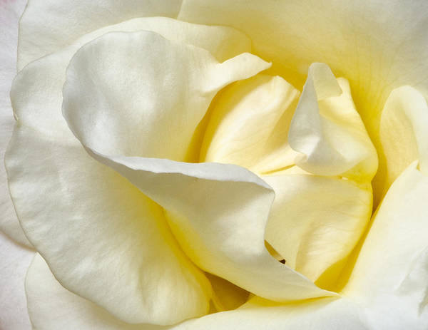 Rose Poster featuring the photograph Creamy Rose by Georgette Grossman