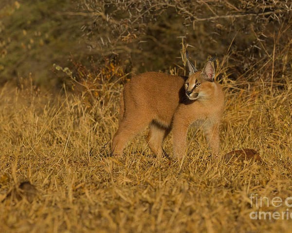Africa Poster featuring the photograph Curious Caracal Cub by Ashley Vincent