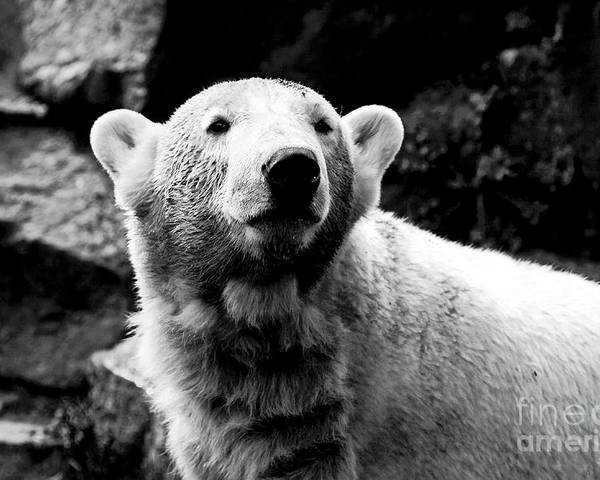 Cute Knut Poster featuring the photograph Cute Knut by John Rizzuto