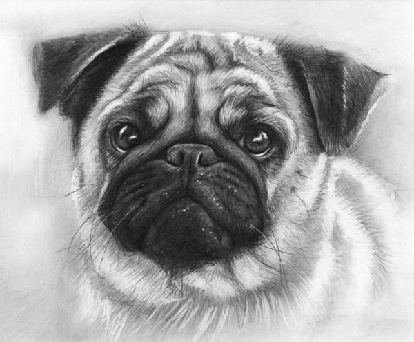 Dog Poster featuring the drawing Cute Pug by Olga Shvartsur