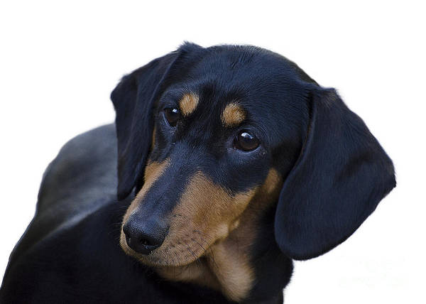 Dog Poster featuring the photograph Dachshund by Linsey Williams