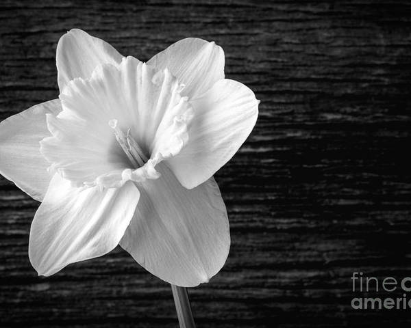 Daffodil narcissus flower black and white poster by edward fielding daffodils poster featuring the photograph daffodil narcissus flower black and white by edward fielding mightylinksfo