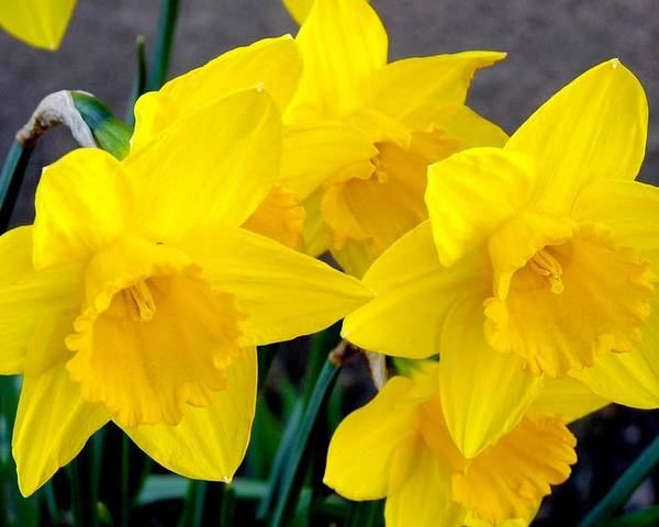 Colorado Poster featuring the photograph Daffodils by Marilyn Burton