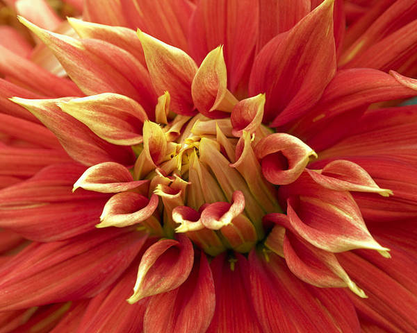 Flower Poster featuring the photograph Dahlia - 2 by Paul Riedinger