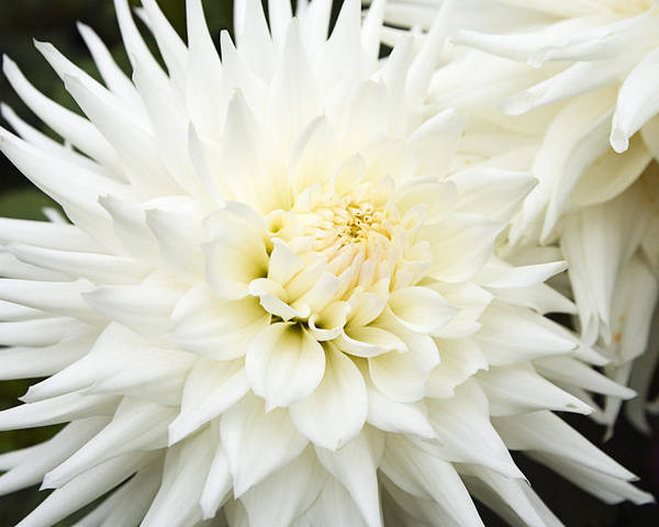 Flower Poster featuring the photograph Dahlia - 3 by Paul Riedinger