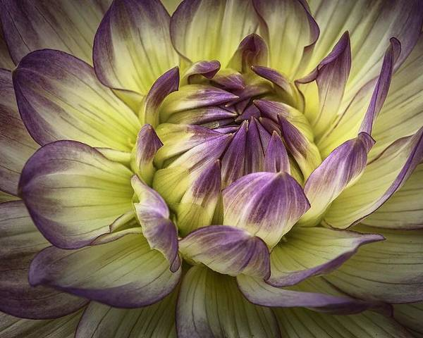 Flowers Poster featuring the photograph Dahlia by Steve Blair