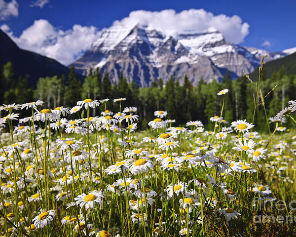 Daisies Poster featuring the photograph Daisies At Mount Robson by Elena Elisseeva