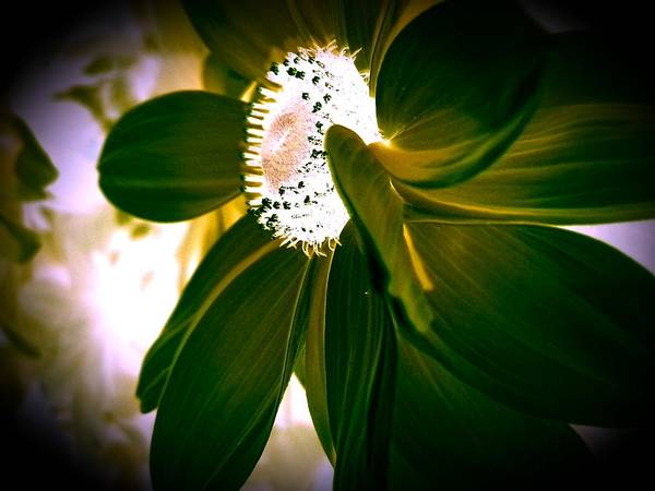 Flowers Poster featuring the photograph Daisy In Green by Jeff Mantz Rhodes