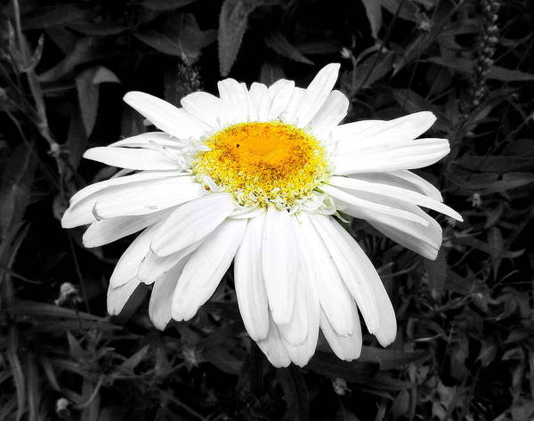 Flower Poster featuring the photograph Daisy May by Sheri Copeland