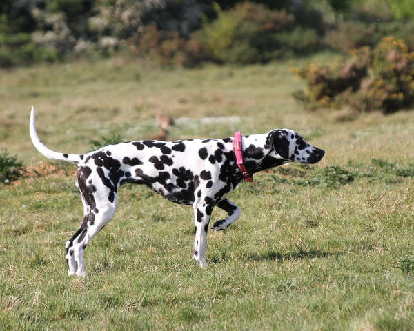 Dalmatian Pretending To Be A Pointer Poster featuring the photograph Dalmation Pretending To Be A Pointer by Gordon Auld