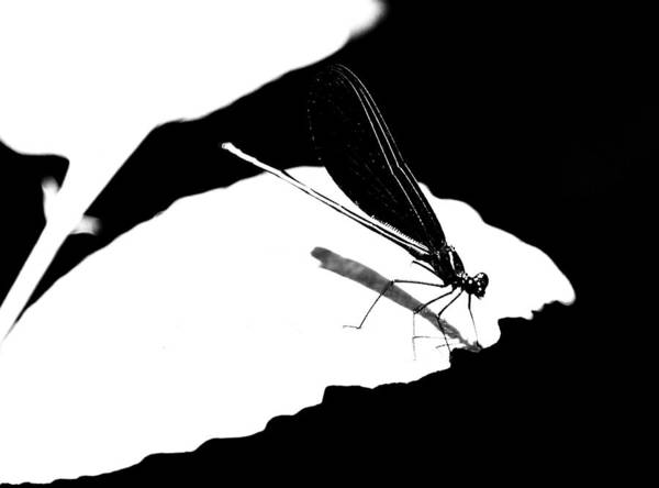 Damselfly Poster featuring the photograph Damselfly In Black And White by Heather Fox