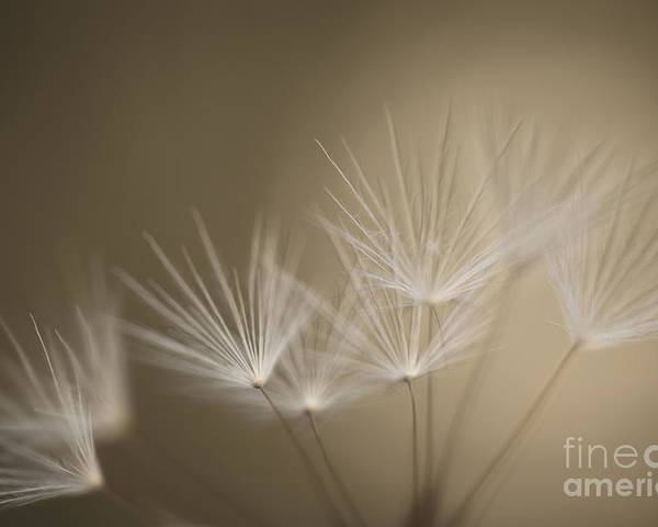 Dandelion Poster featuring the photograph Dandelion Close-up View Backlit by Jim Corwin