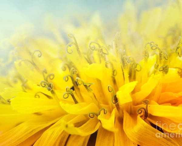 Abstract Poster featuring the photograph Dandelion by Mythja Photography
