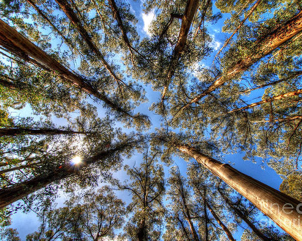 Dandenong Poster featuring the photograph Dandenong Forest by Colin Woods