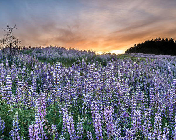 Lupine Poster featuring the photograph Dawn Of Lupine by Greg Nyquist