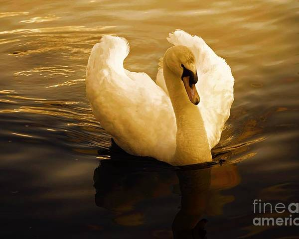 Swan Poster featuring the photograph Dawn Swan by Wobblymol Davis