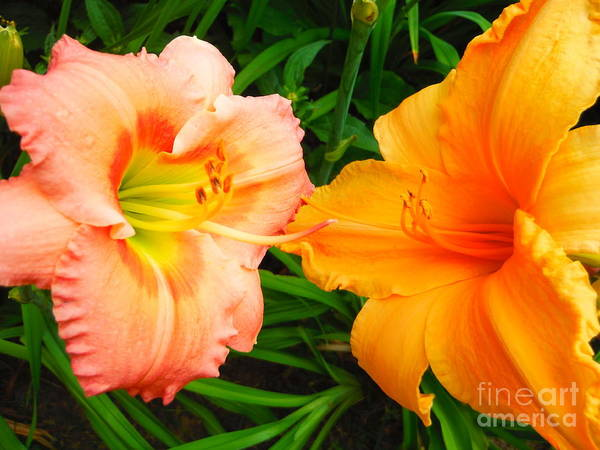 Day Lilies As Happy Friends Poster featuring the photograph Day Lilies As Happy Friends by Paddy Shaffer