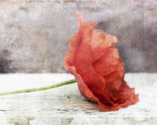 Poppy Poster featuring the photograph Decor Poppy Red by Priska Wettstein