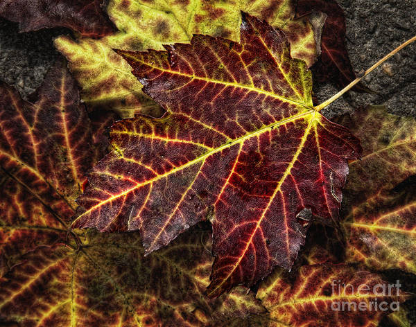 Leaf Poster featuring the photograph Deep Red by Claudia Kuhn