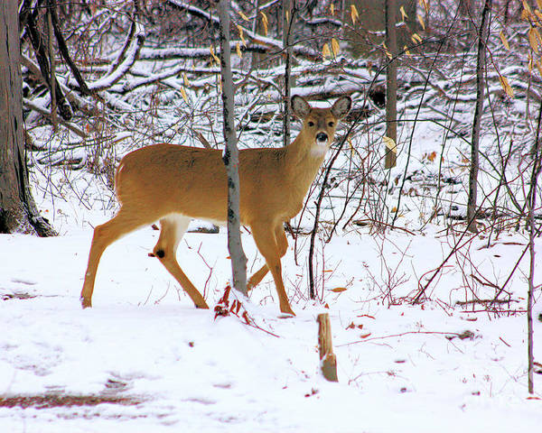 White Tail Deer Poster featuring the photograph Deer In Winter 2011.no.3 by RL Clough