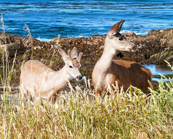 State Beach Near Big Sur Poster featuring the photograph Deer On The Beach At Point Lobos Ca by Artist and Photographer Laura Wrede