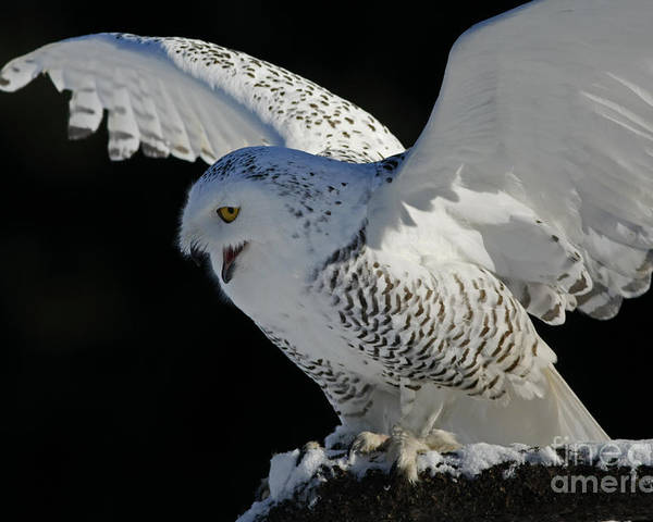 Snowy Poster featuring the photograph Destiny's Journey - Snowy Owl by Inspired Nature Photography Fine Art Photography