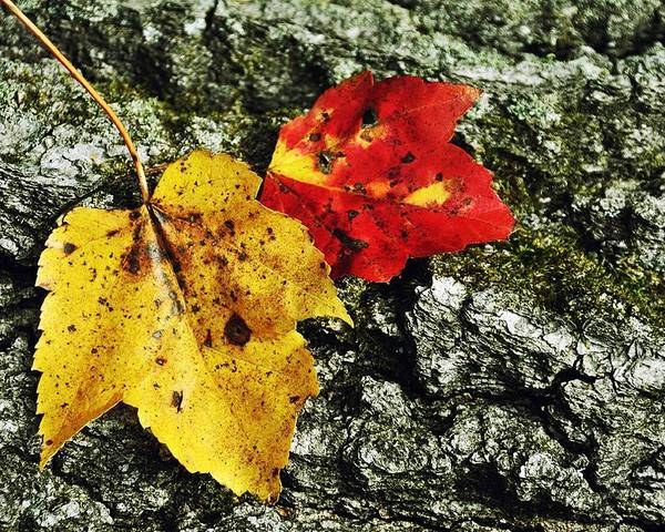 Autumn Poster featuring the photograph Deux Feuilles by JAMART Photography