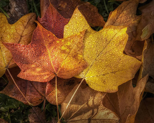 Leaf Poster featuring the photograph Dew On Autumn Leaves by Scott Norris