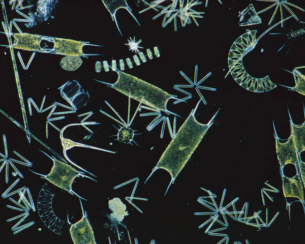 Flpa Poster featuring the photograph Diatoms And Dinoflagellates by D P Wilson