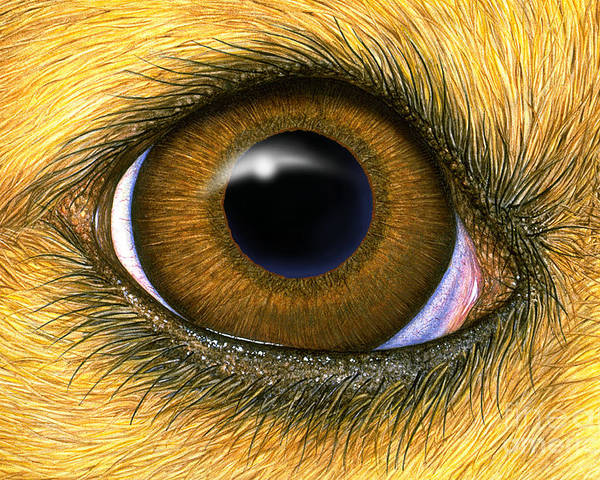 Dog Eye Poster By Laurie Okeefe