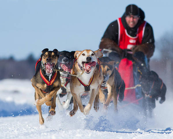 Champions Poster featuring the photograph Dog Sledding Race by Mircea Costina Photography