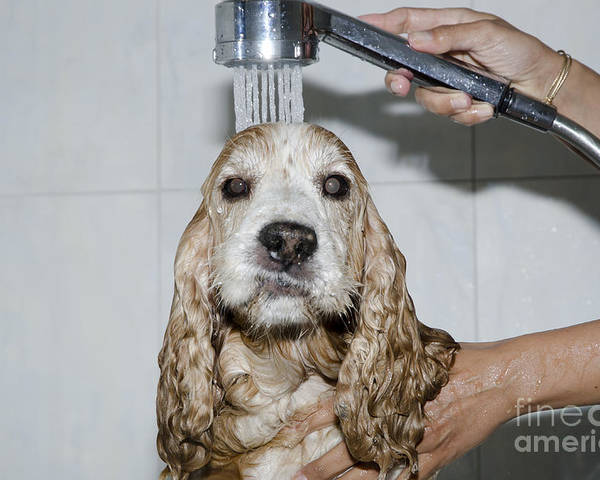 Dog Poster featuring the photograph Dog Taking A Shower by Mats Silvan