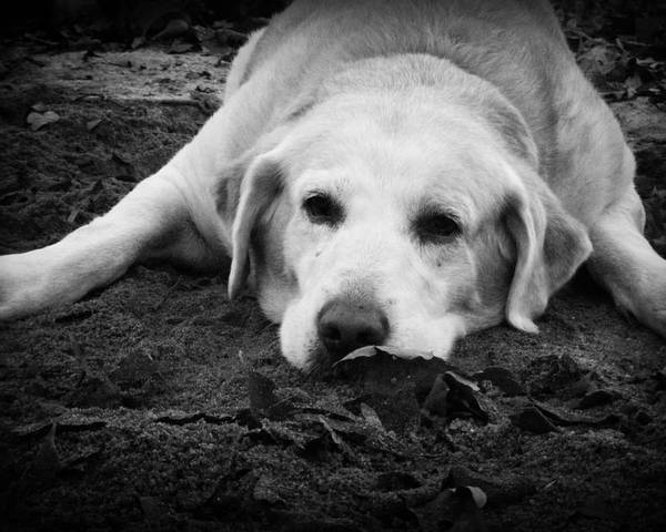 Dog Poster featuring the photograph Dog Tired by Kelly Hazel