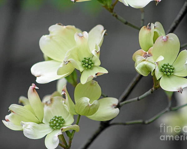Flowers Poster featuring the photograph Dogwood In Bloom by Gayle Miller